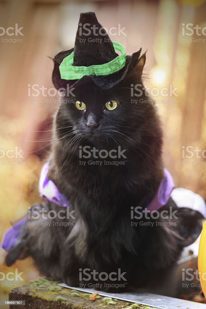 Black Cat in Witch Costume stock photo
