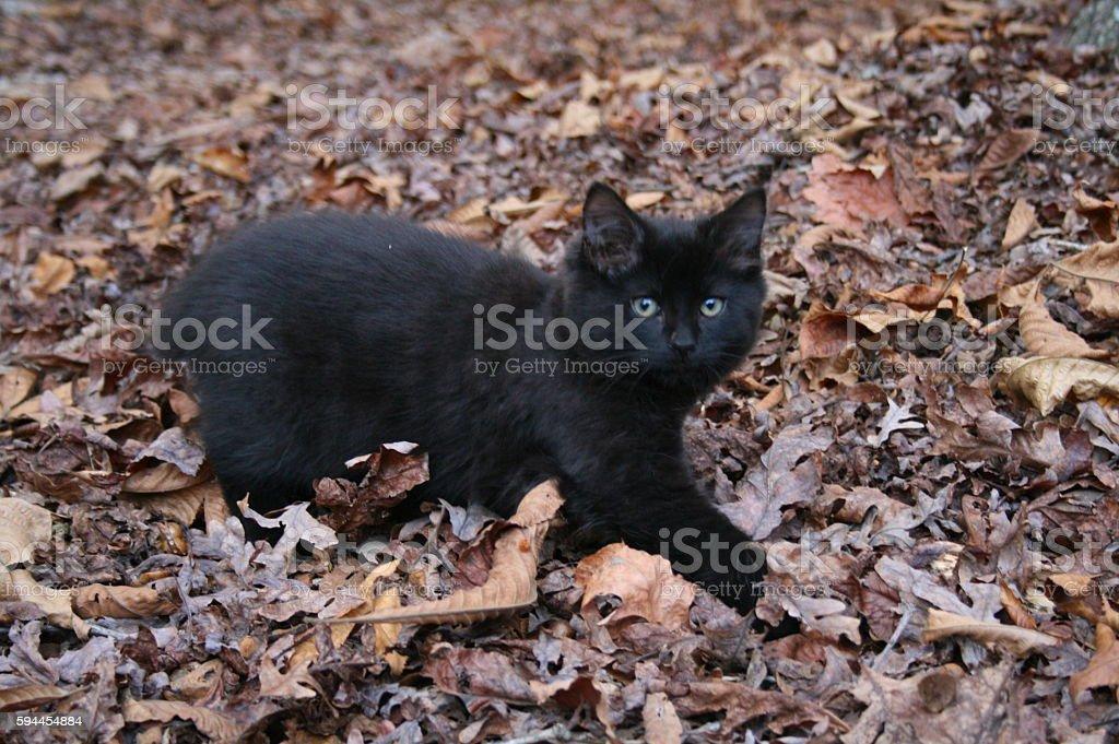 black cat kitten walking through fall leaves stock photo