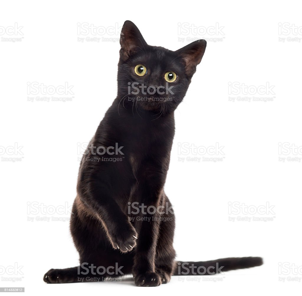 Black cat kitten with a paw up, isolated on white stock photo