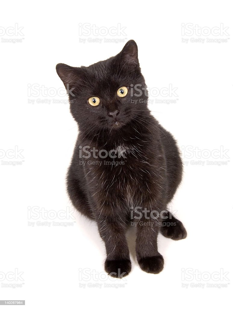 Black cat looks straight ahead while sitting on white background royalty-free stock photo