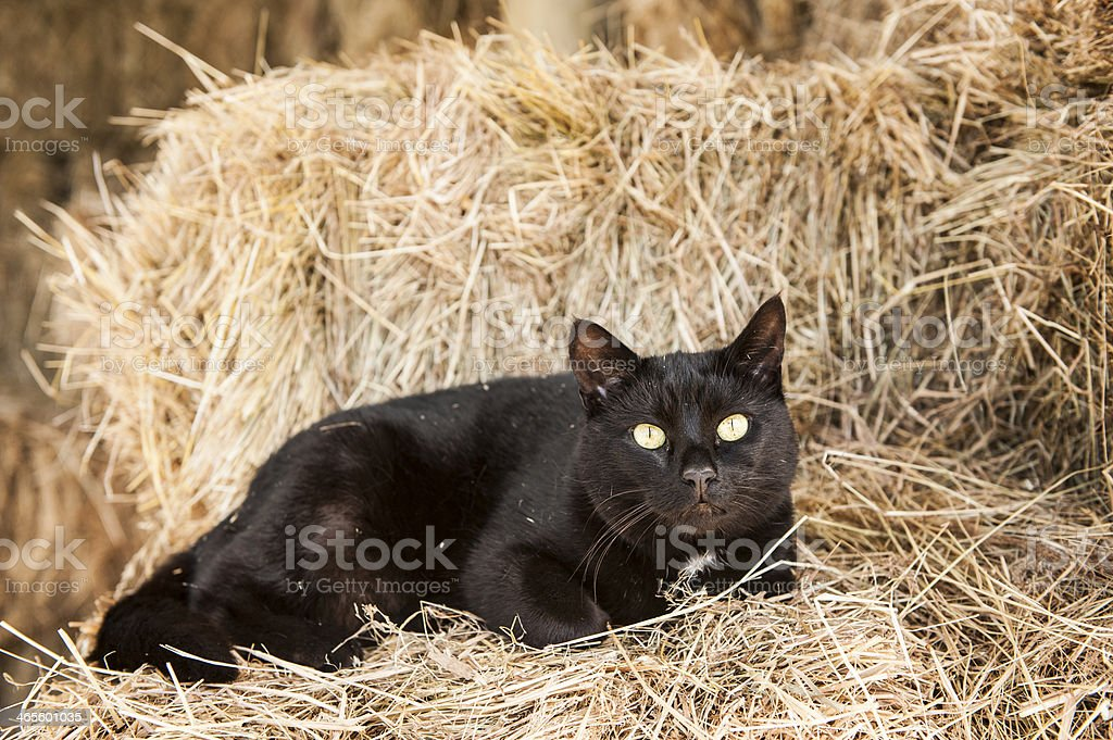 black cat lounging in hay stock photo