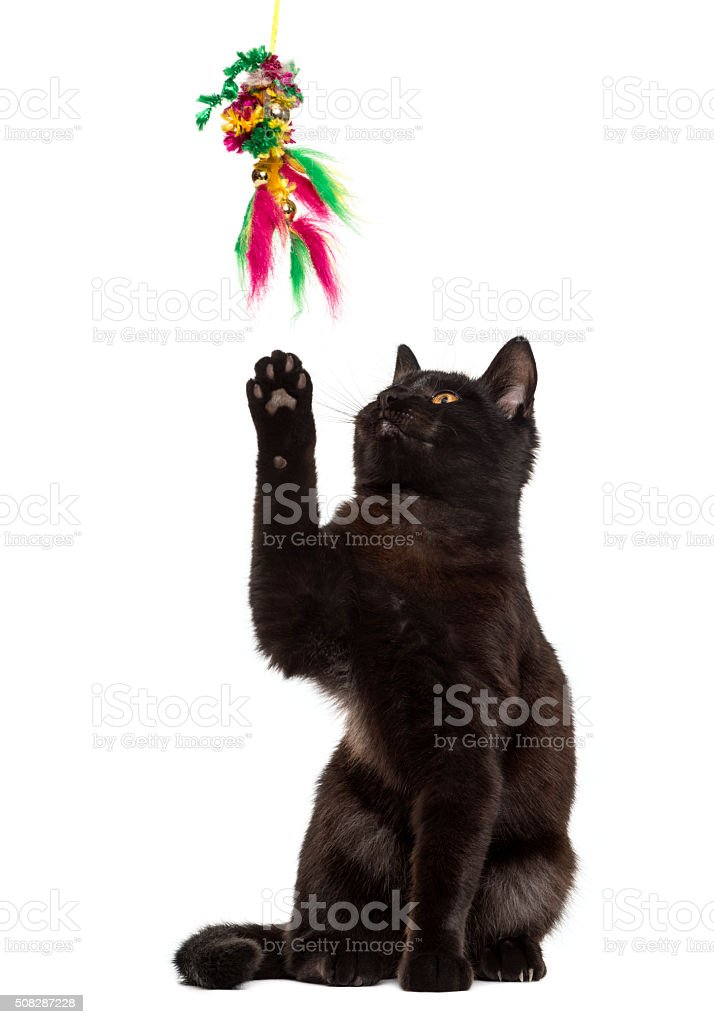 Black cat playing in front of a white background stock photo