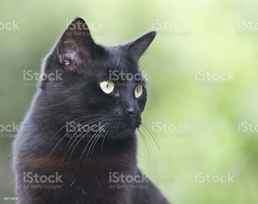 Black cat portrait on green backgroung royalty-free stock photo