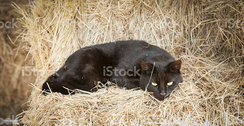 black cat sleeping in hay stock photo