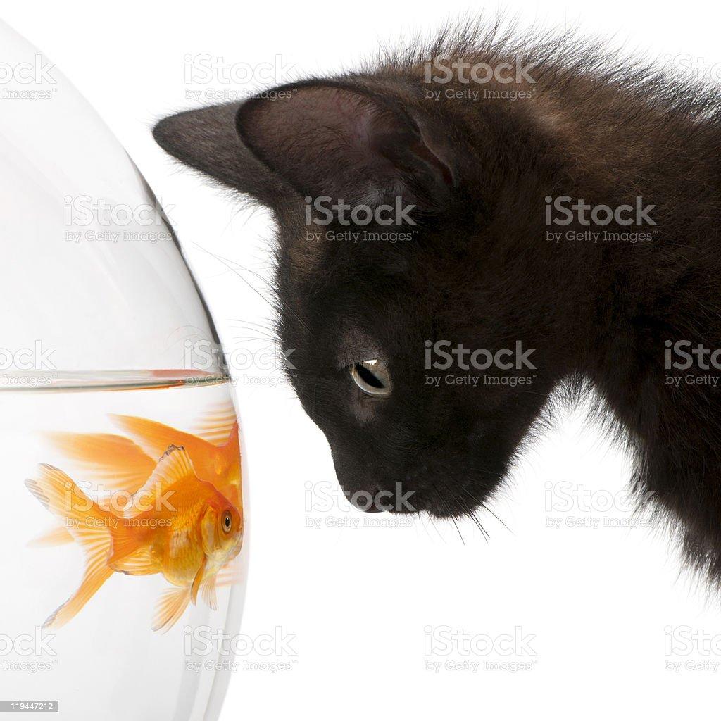 Black cat stares at goldfish in bowl stock photo