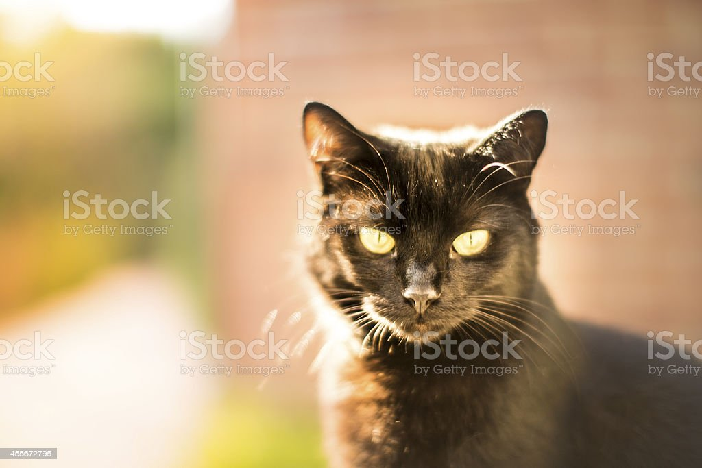 black cat staring at the camera on a warm day stock photo