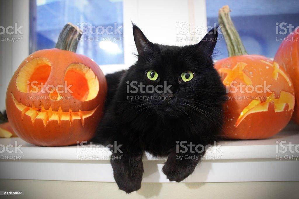 Black Cat with Pumpkins stock photo