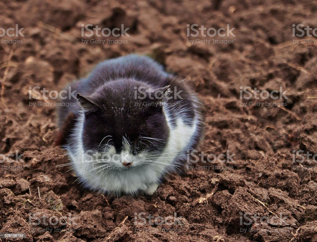 black cat with white collar royalty-free stock photo