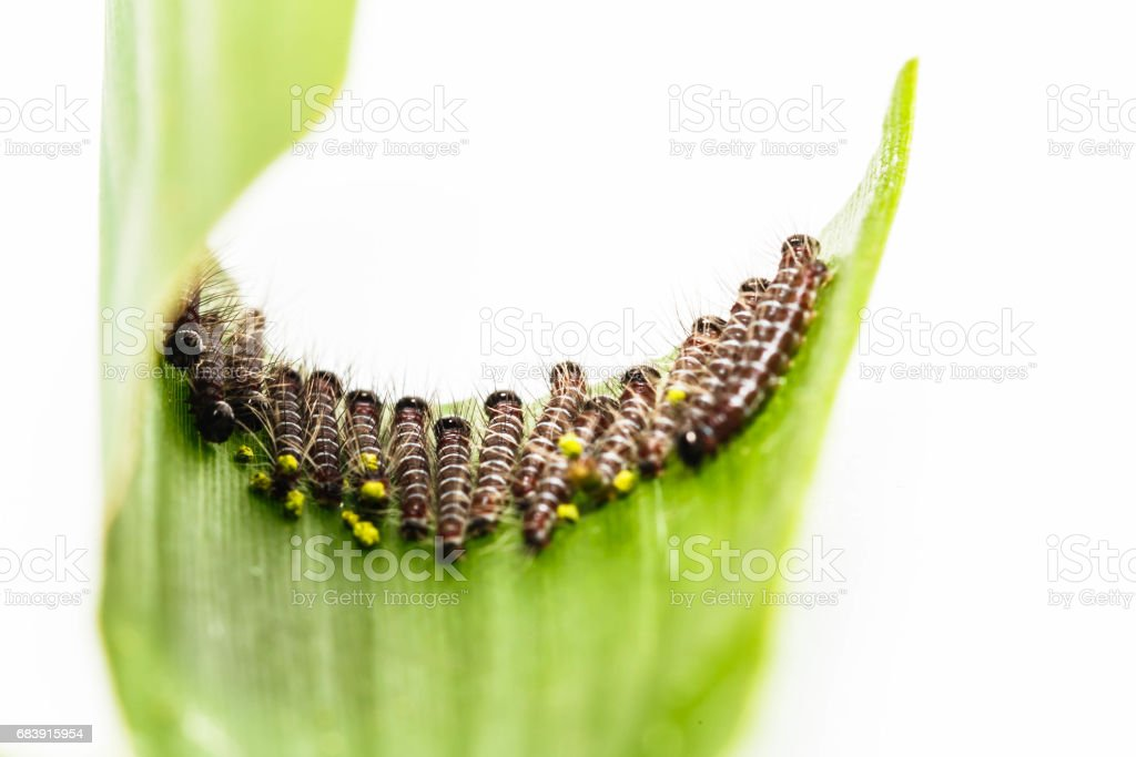 Black caterpillar of common duffer butterfly stock photo