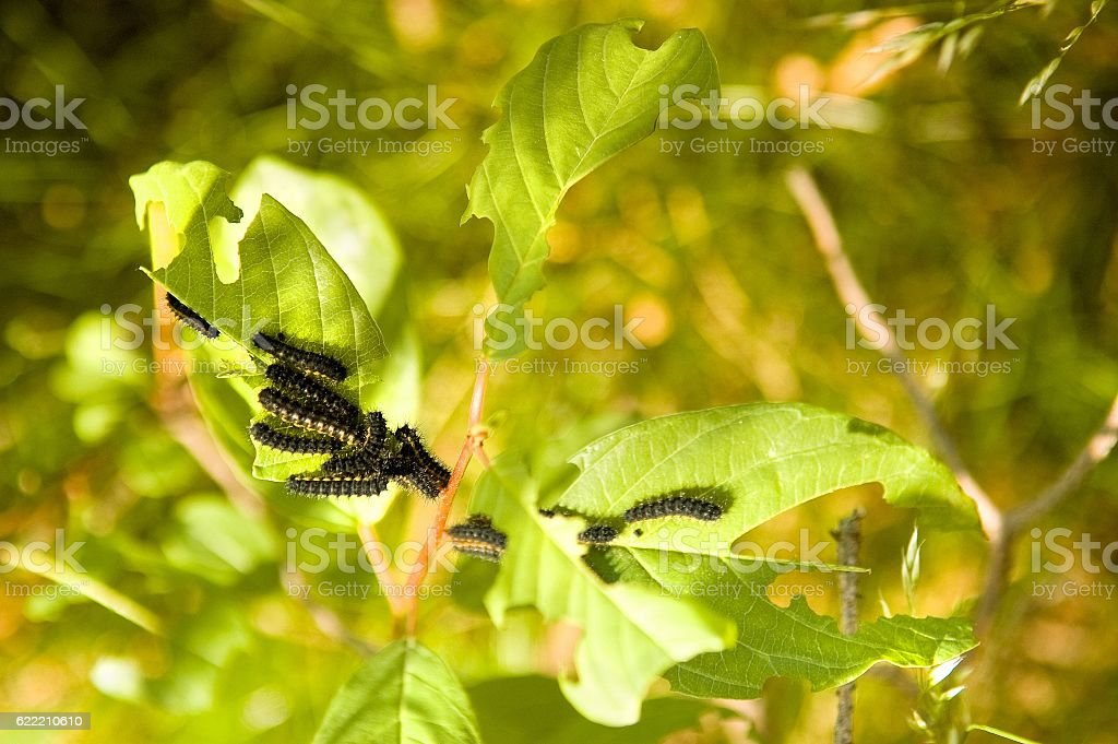 Black caterpillars on a branch with leaves stock photo