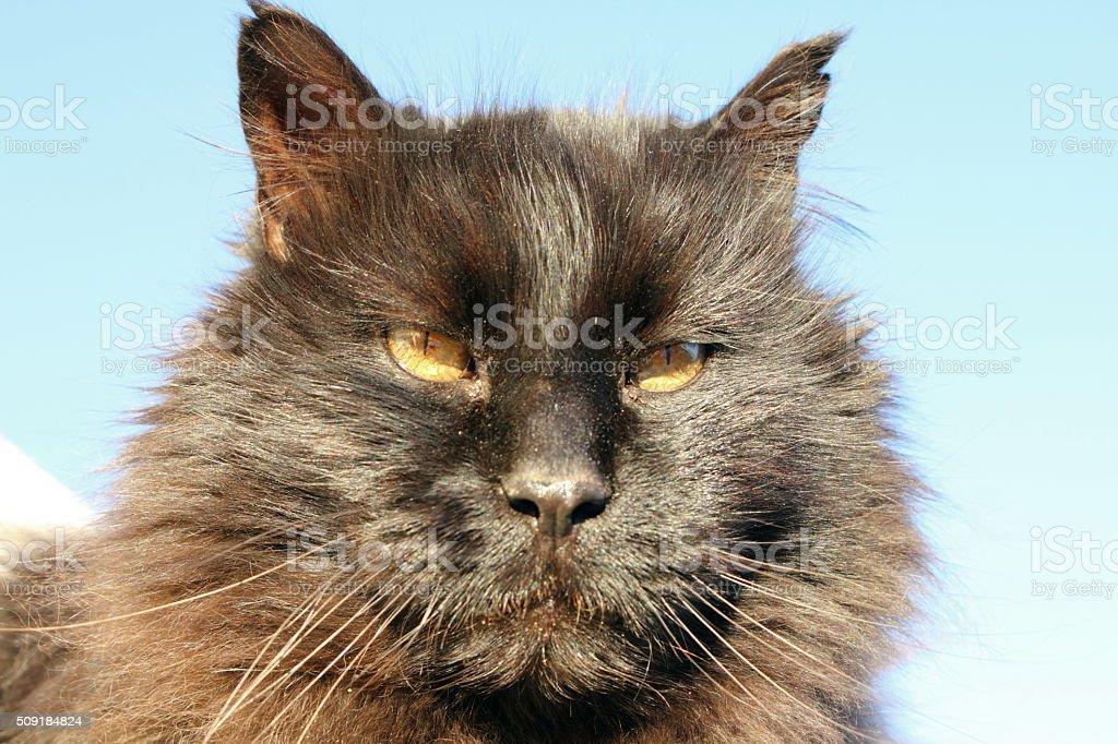 Black cat's face, cut left ear stock photo