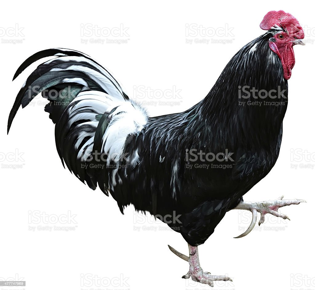 black Chicken isolated on a white background royalty-free stock photo