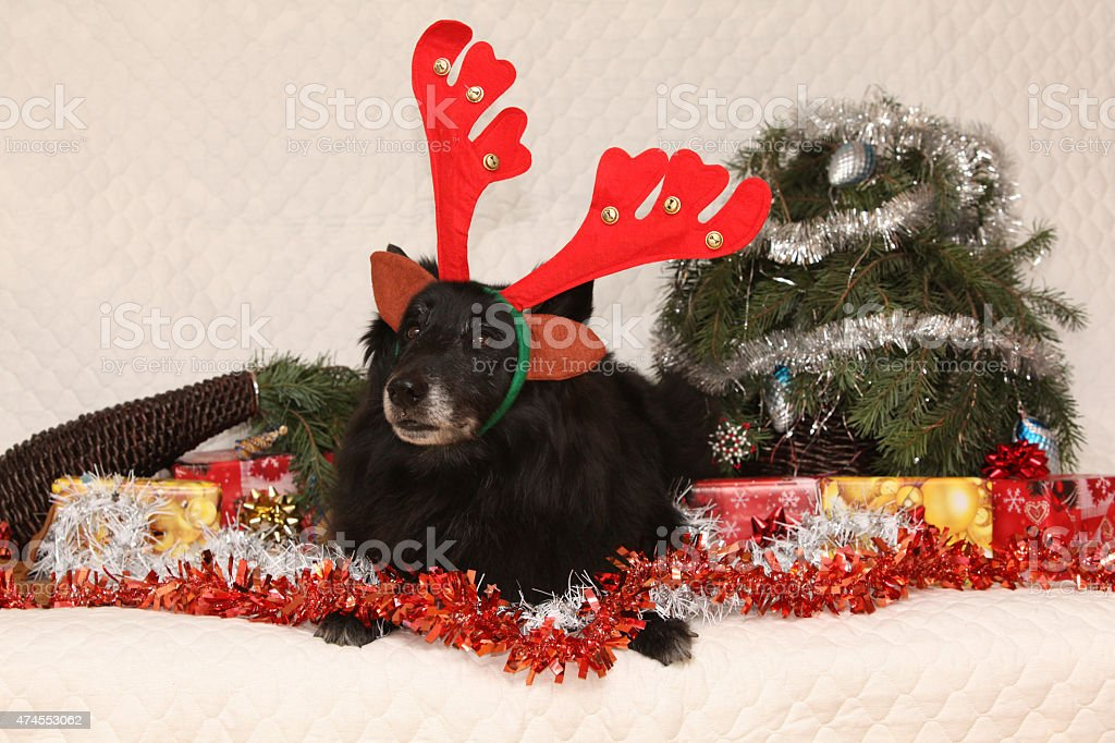 Black Chien de Berger Belge with reindeer antlers stock photo
