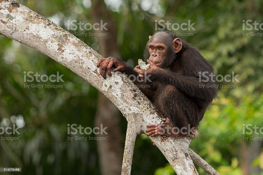 Black chimpanzee from african congo stock photo