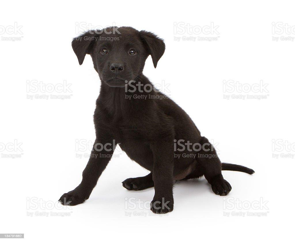 Black chow mix puppy stock photo