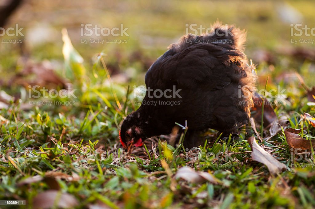 Black cochin rooster royalty-free stock photo