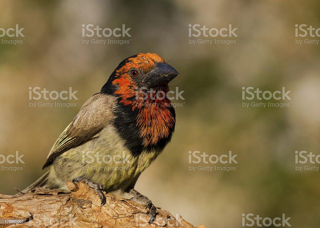 Zbliżenie czarny Collared Barbet zbiór zdjęć royalty-free