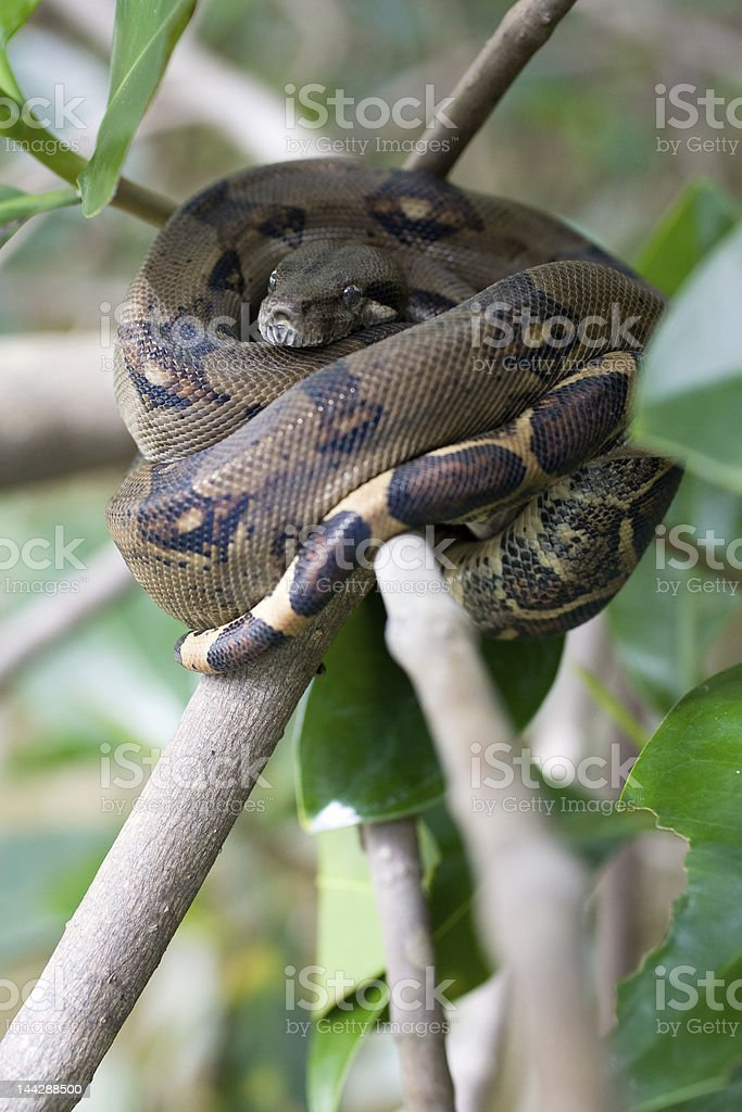Black Common Boa Snake Costa Rica royalty-free stock photo