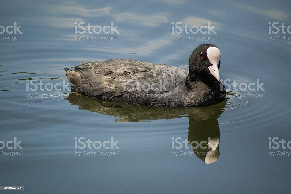 Black coot royalty-free stock photo