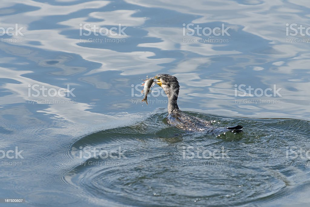 black cormorant [Phalacrocorax carbo] royalty-free stock photo