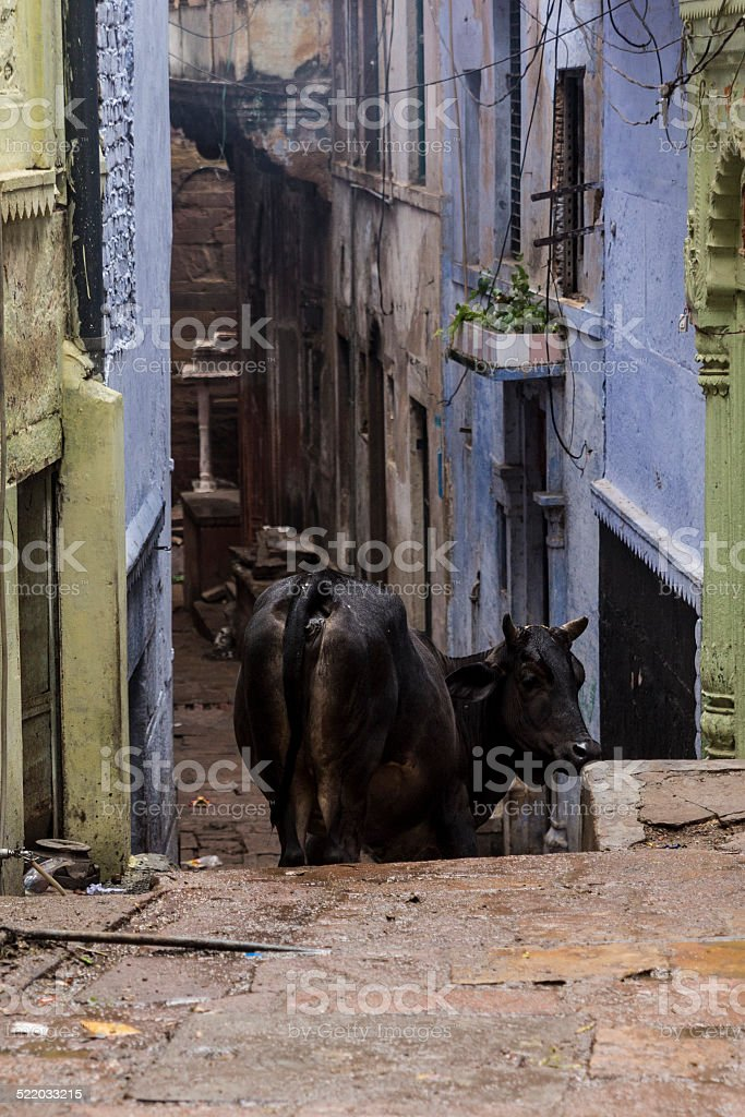 Black cow going down the stairs of a gali, Varanasi stock photo