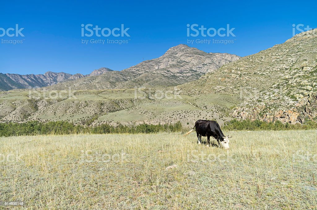 Black cow grazing in a mountain meadow. Altai, Russia. stock photo