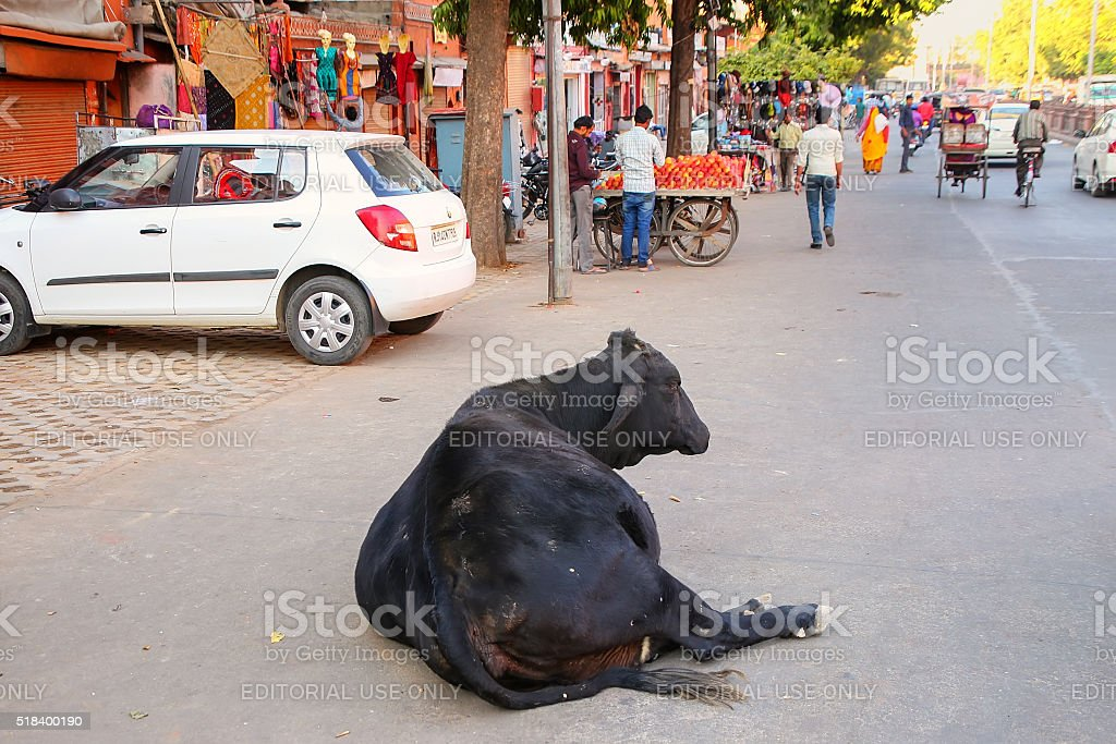 Black cow lying at Johari Bazzar Street in Jaipur stock photo