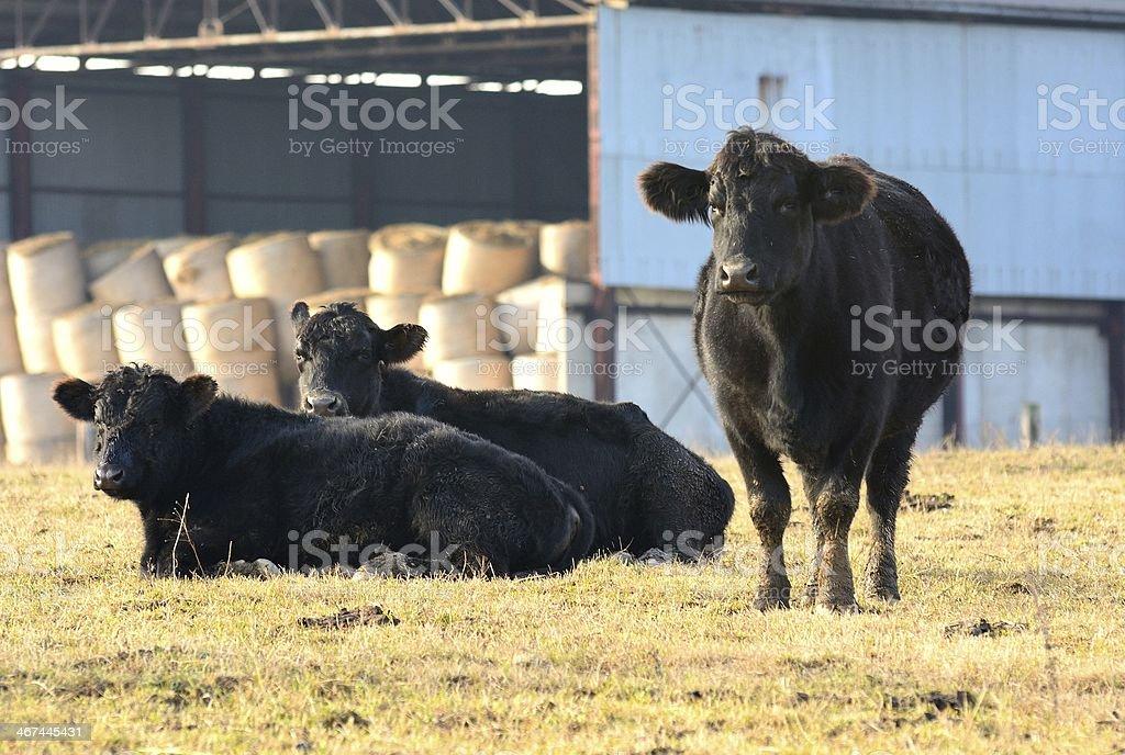 Black cow stock photo