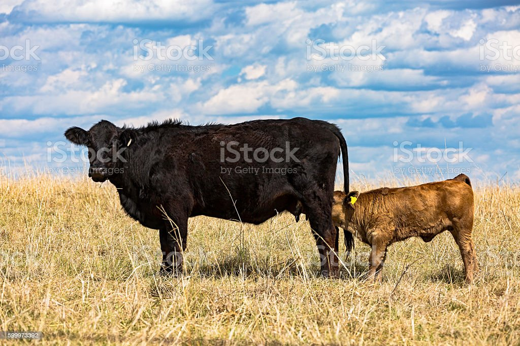 Black cow watching as young brown calf feeds stock photo