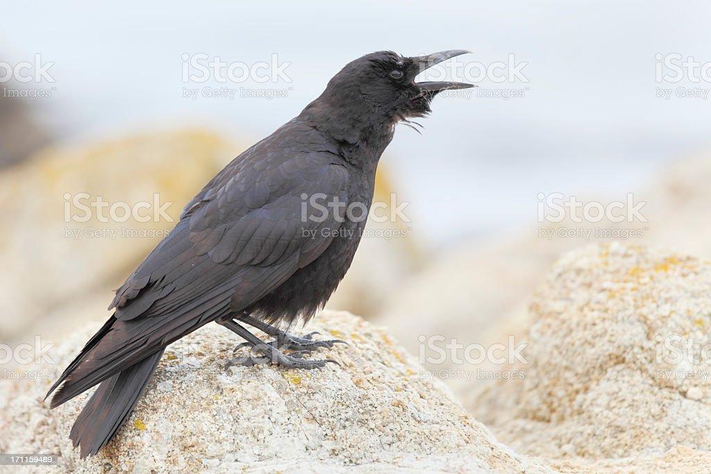 black crow at the beach stock photo
