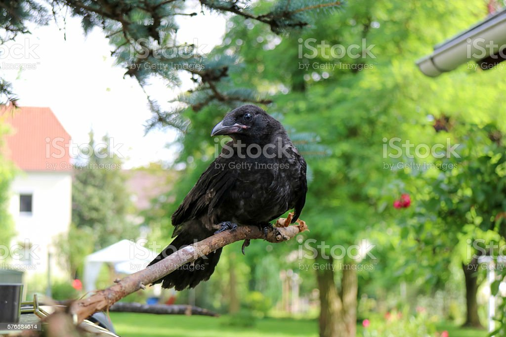 Black crow, Corvus, corone.  Corvus cornix stock photo