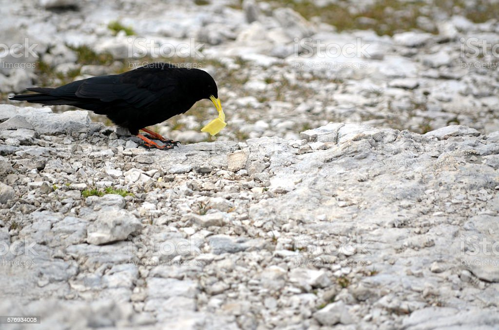 Black crow eating a chip near my house stock photo