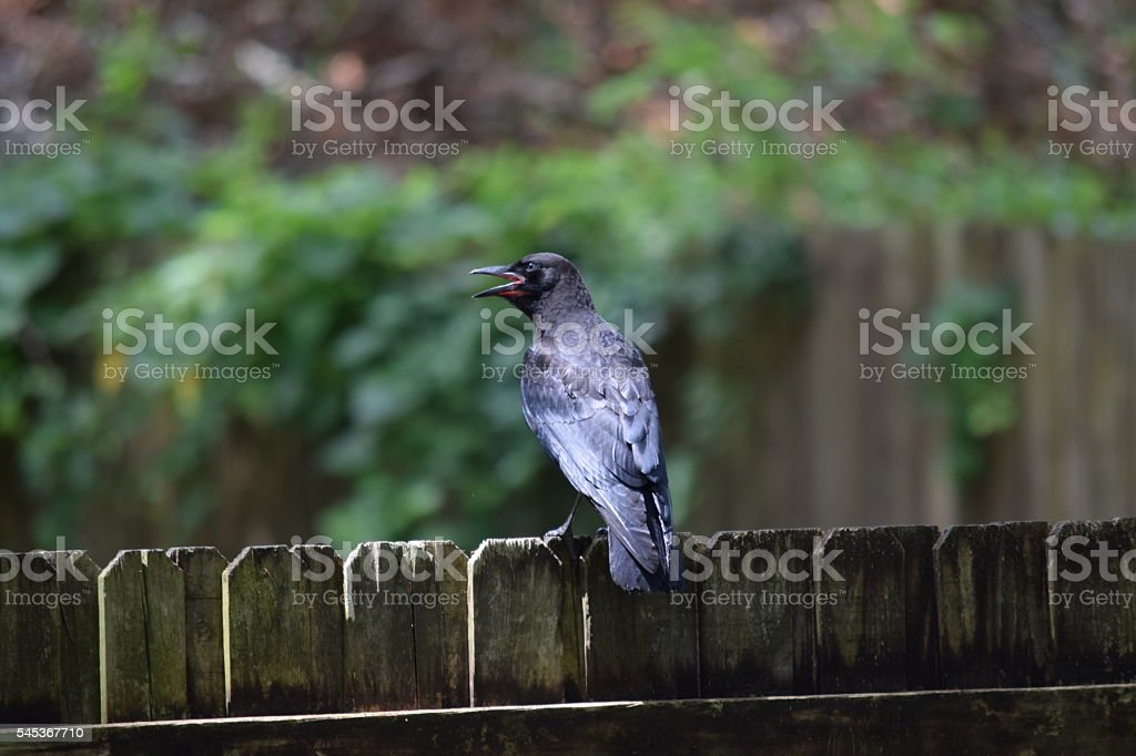 Black Crow on Fence stock photo