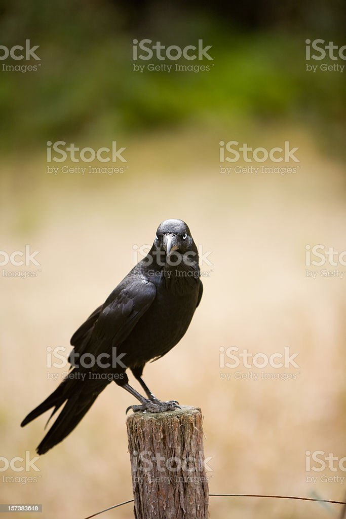 black crow royalty-free stock photo