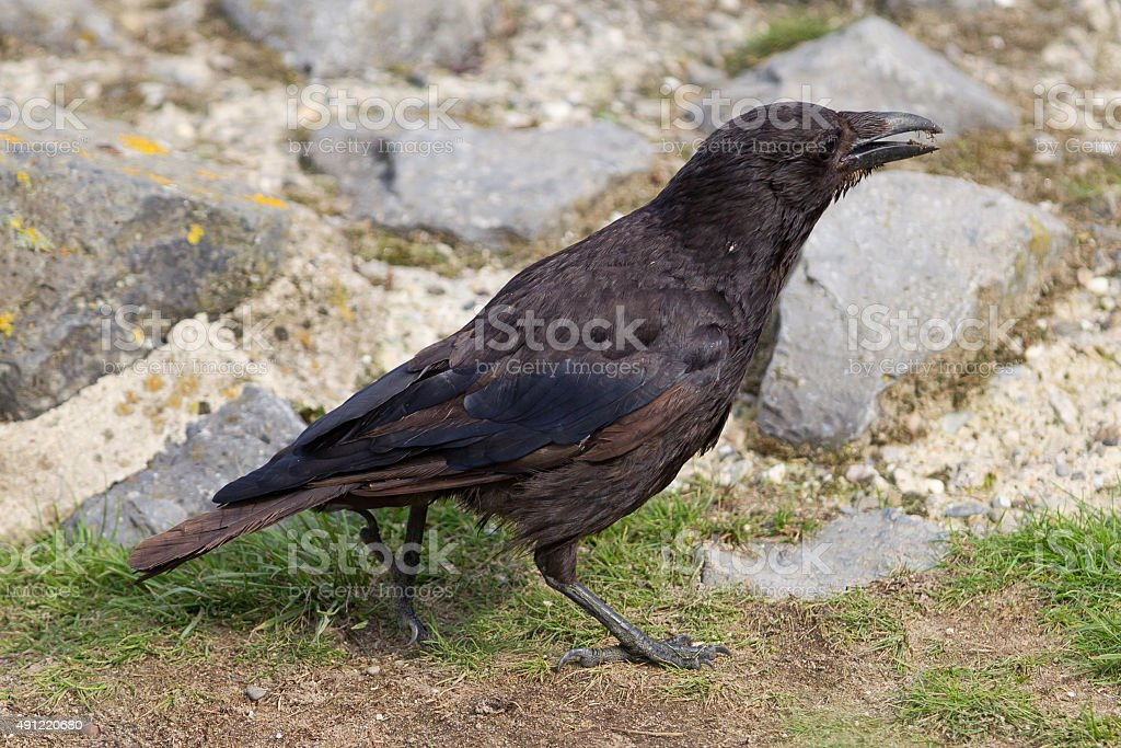 Black Crow stock photo