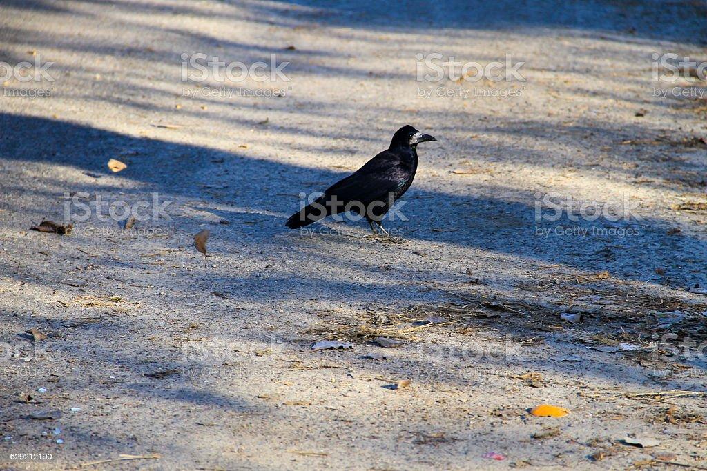 Black crow stock photo