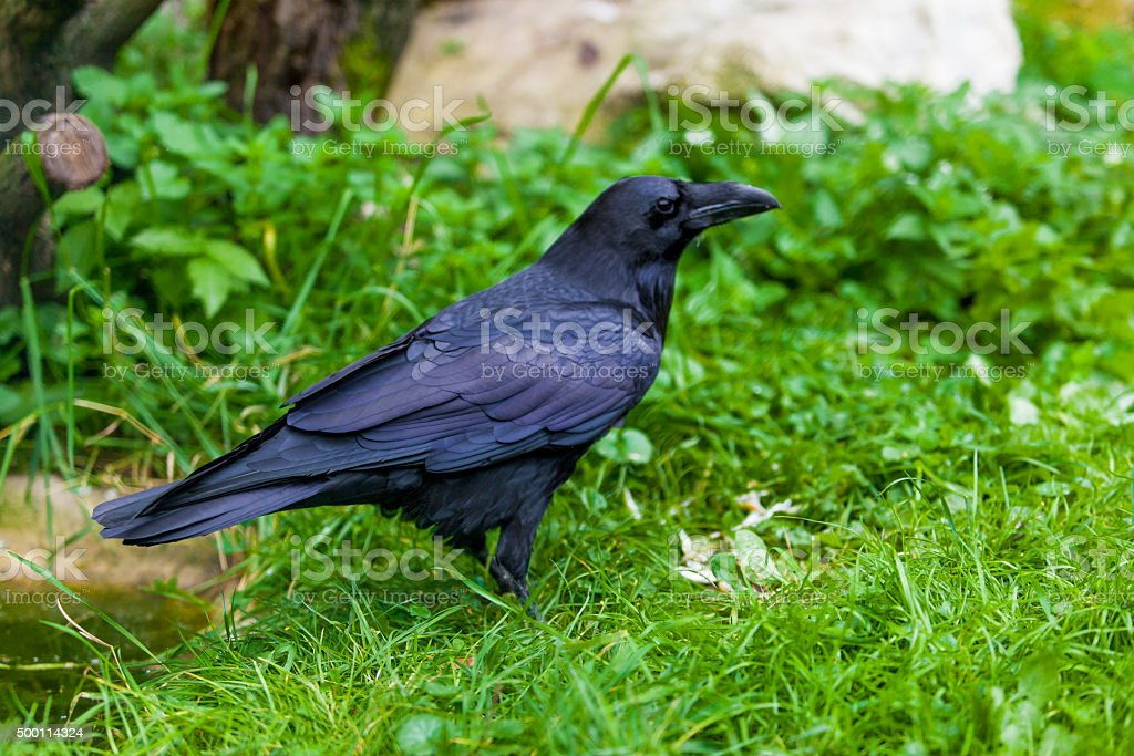 Black Crow. Raven Portrait stock photo