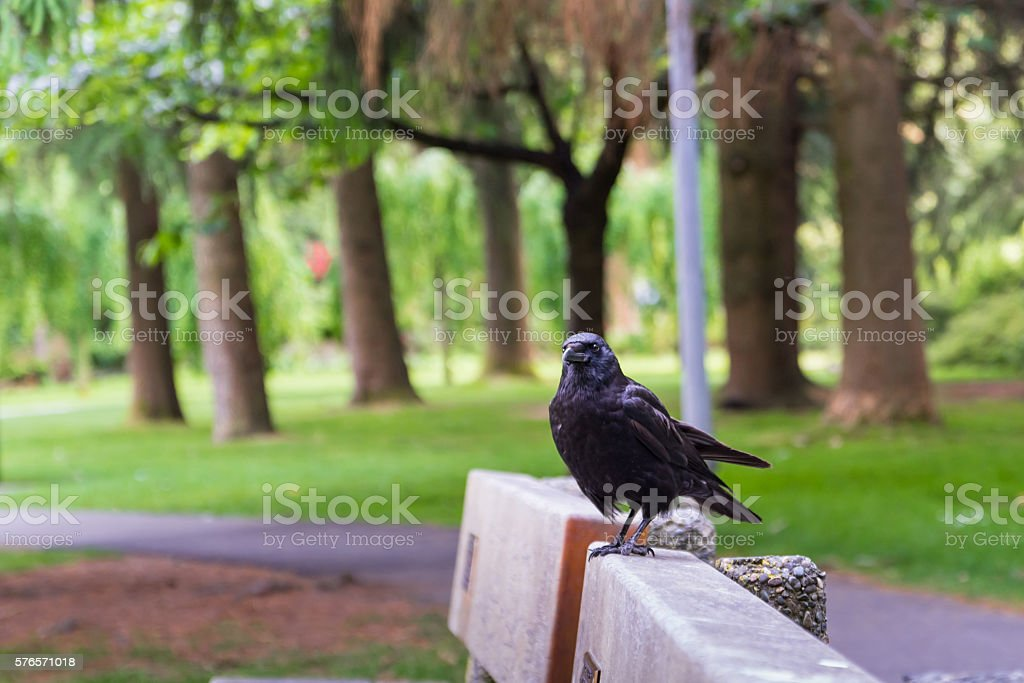 Black crow sitting on bench stock photo