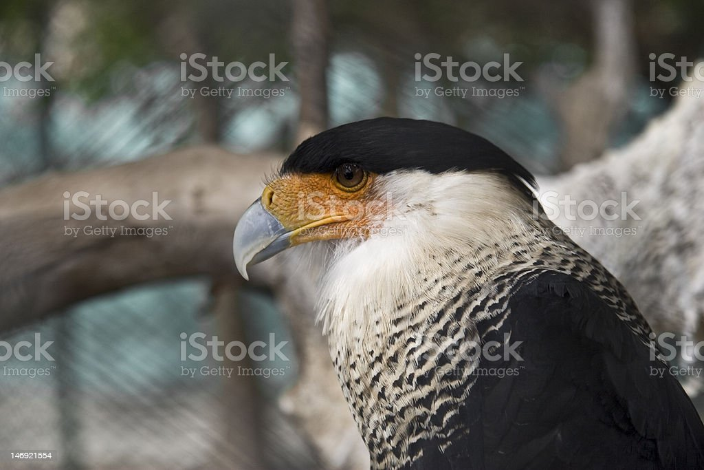 Black crowned bird looking left royalty-free stock photo