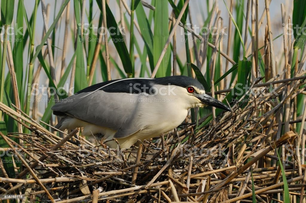 Black crowned night heron at nest stock photo