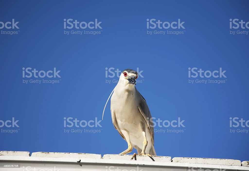 Black crowned night heron (Nycticorax nycticorax) on a sky background stock photo