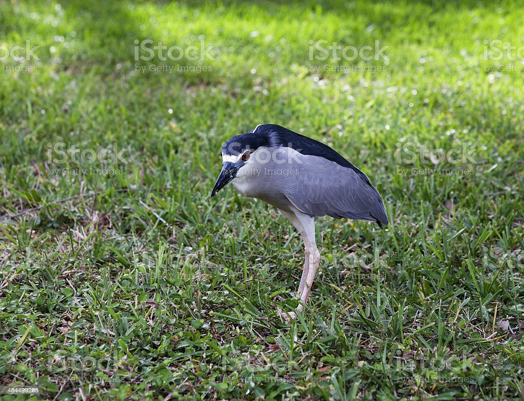 Black crowned night heron on nature background. Nycticorax nycticorax. stock photo