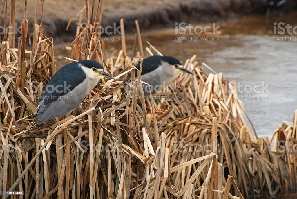 Black crowned night heron on top of a reed plant stock photo