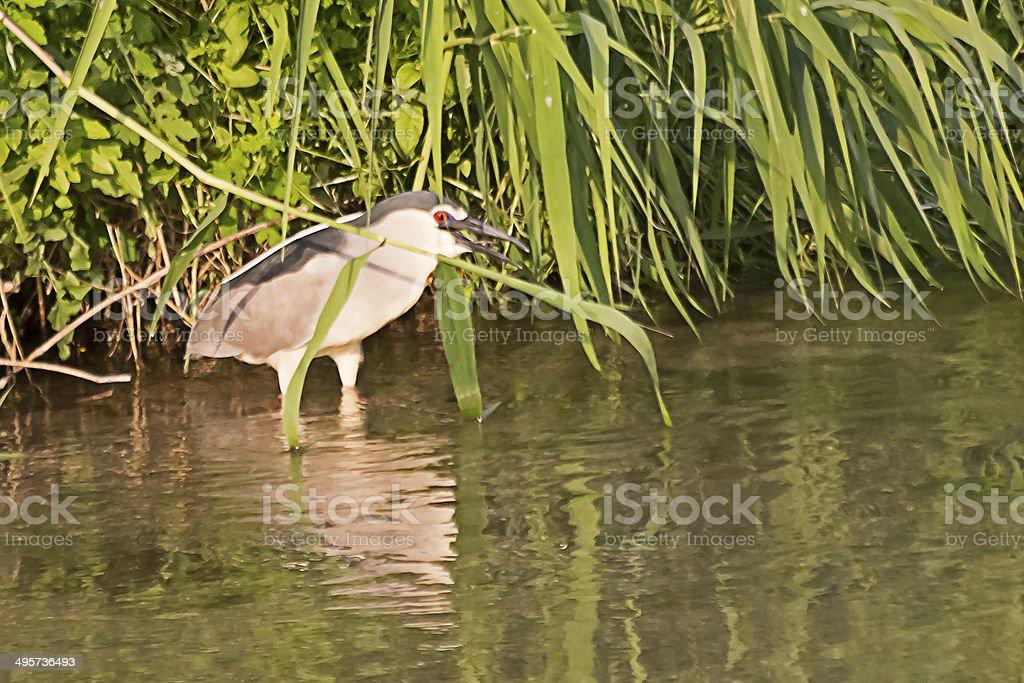 Black Crowned Night Heron. stock photo