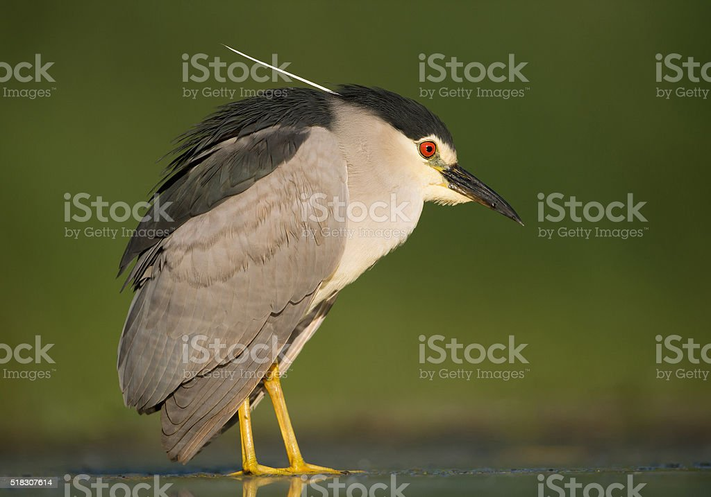 Black crowned night heron standing in the water stock photo