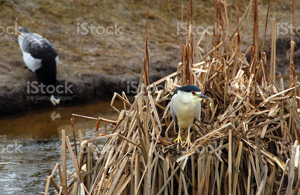 Black crowned night heron top of a reed plant royalty-free stock photo