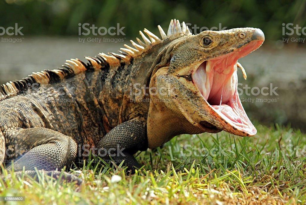 Black Ctenosaur stock photo