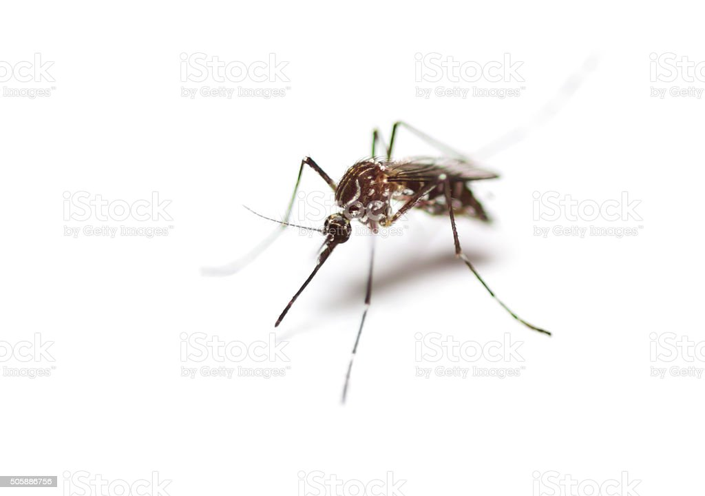 black culex mosquito stock photo