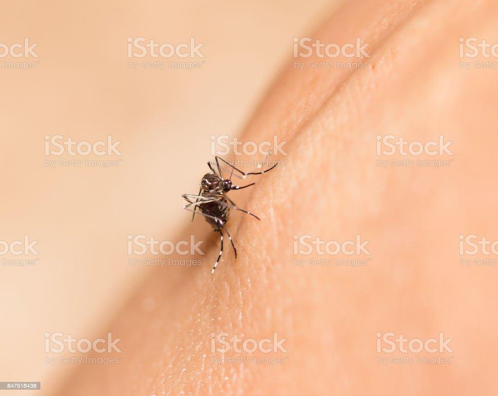 black culex mosquito stock photo