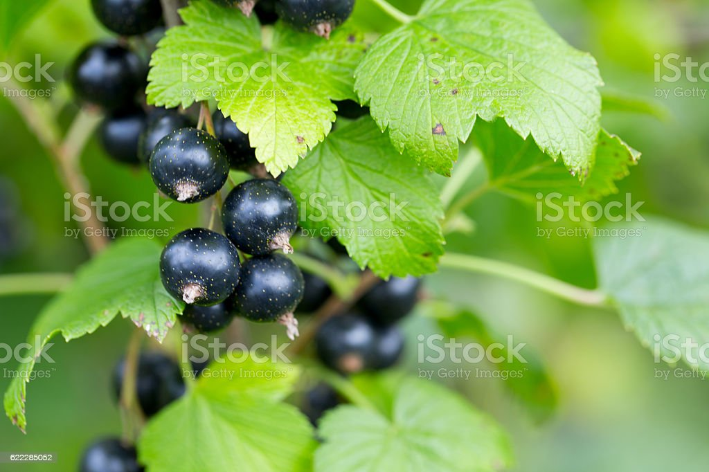 black currant growing stock photo